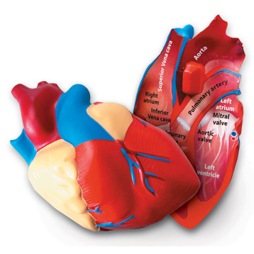 Cross Section Heart Model